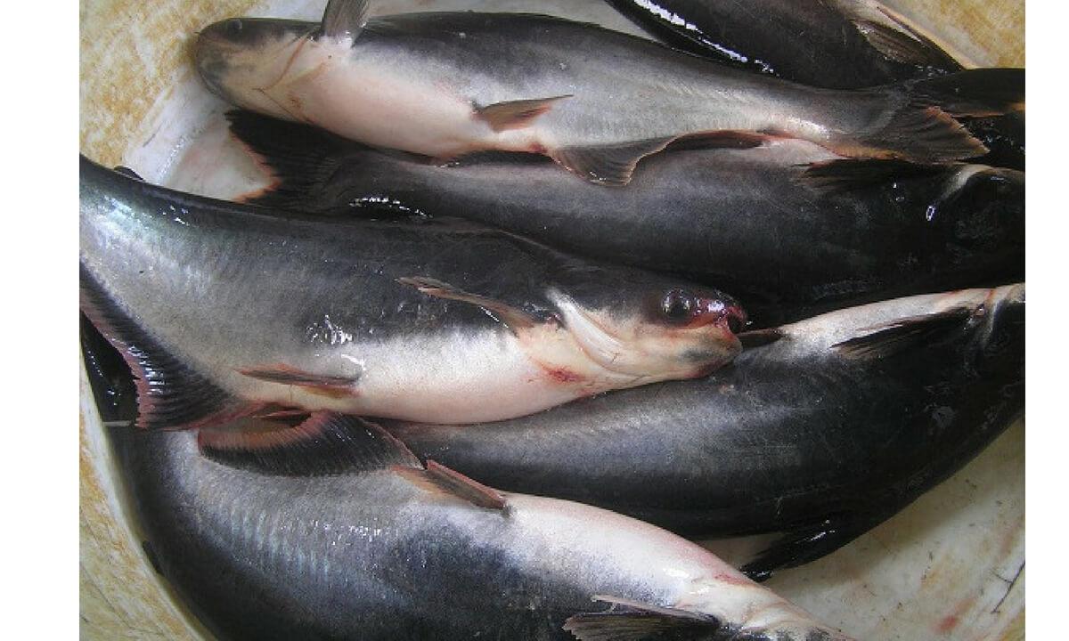 Peluang Bisnis Budidaya Ikan Patin Laba 30 Juta Sekali Panen Stie Bhakti Pembangunan